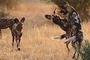 Wild%20dog%20Ruaha-African-wild-dogs-c-L