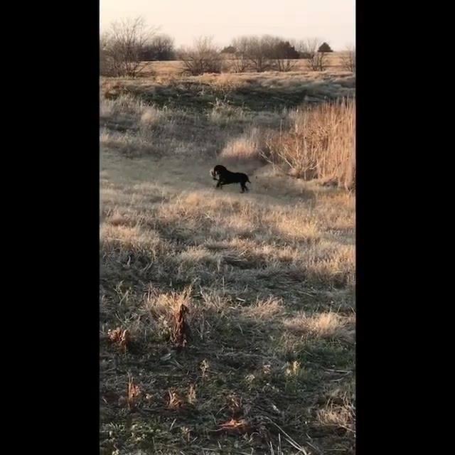Felix the Terrier duck hunt 100 yard retrieve