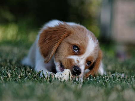 Care and Treatment of Dogs in Experiments, Research and Training
