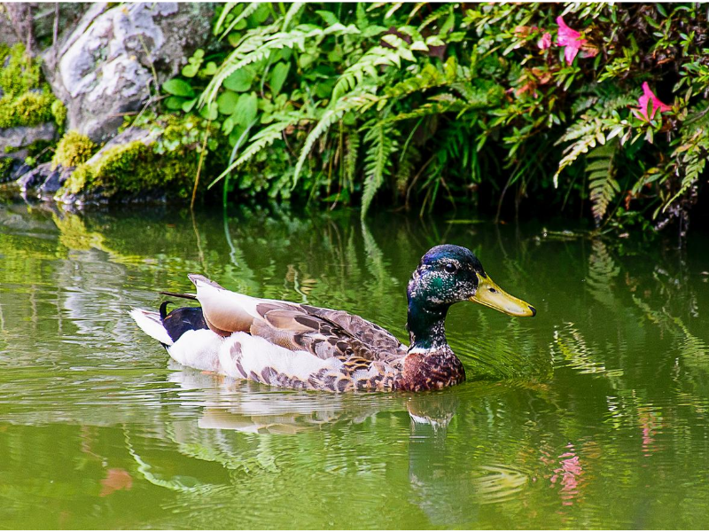 Image of a duck swimming across a pond with water