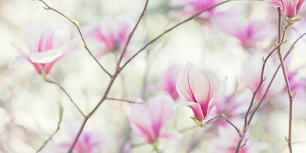 magnolia-plante-998x500.jpg
