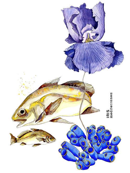 Iris Mediterranea