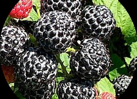 Black Raspberry & Vanilla