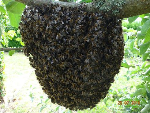 abeilles noires_edited.jpg