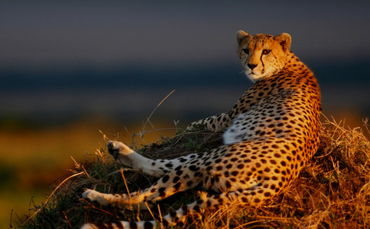 Cheetah (Guepardo)