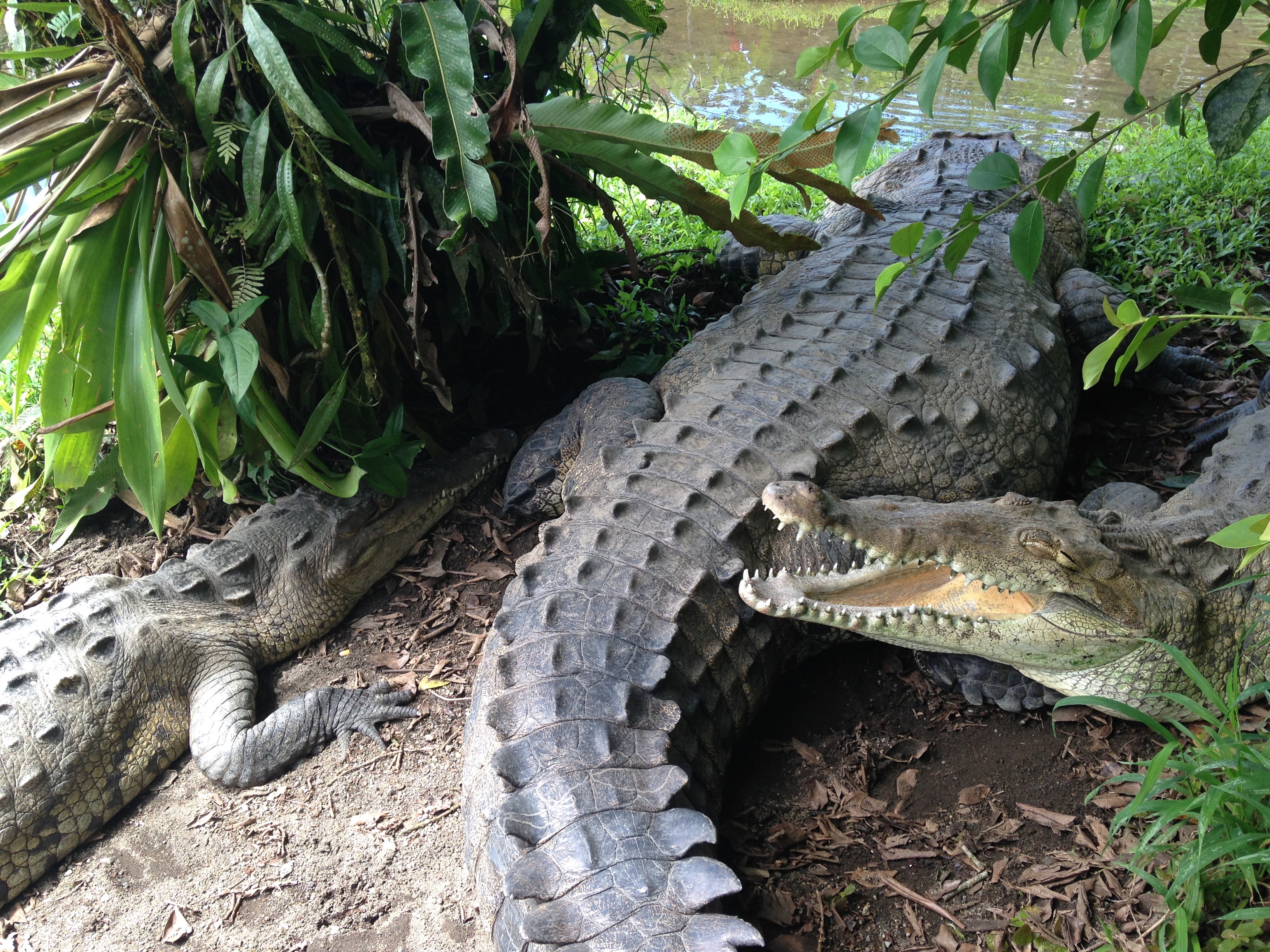 Cocodrilos. La Fortuna, Costa Rica