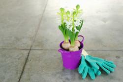 White Hyacinth in Purple Bucket