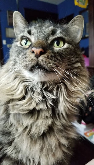 Photo of Big Chuck. Big Chuck is a medium haired cat with varying shades of gray and dark brown fur