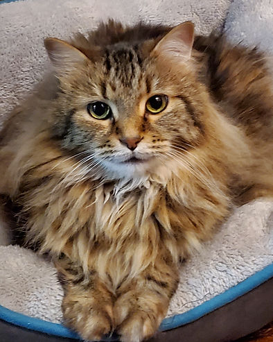 Photo of Cheeto in his cat bed. Cheeto is a medium haired cat with varying shades of brown fur