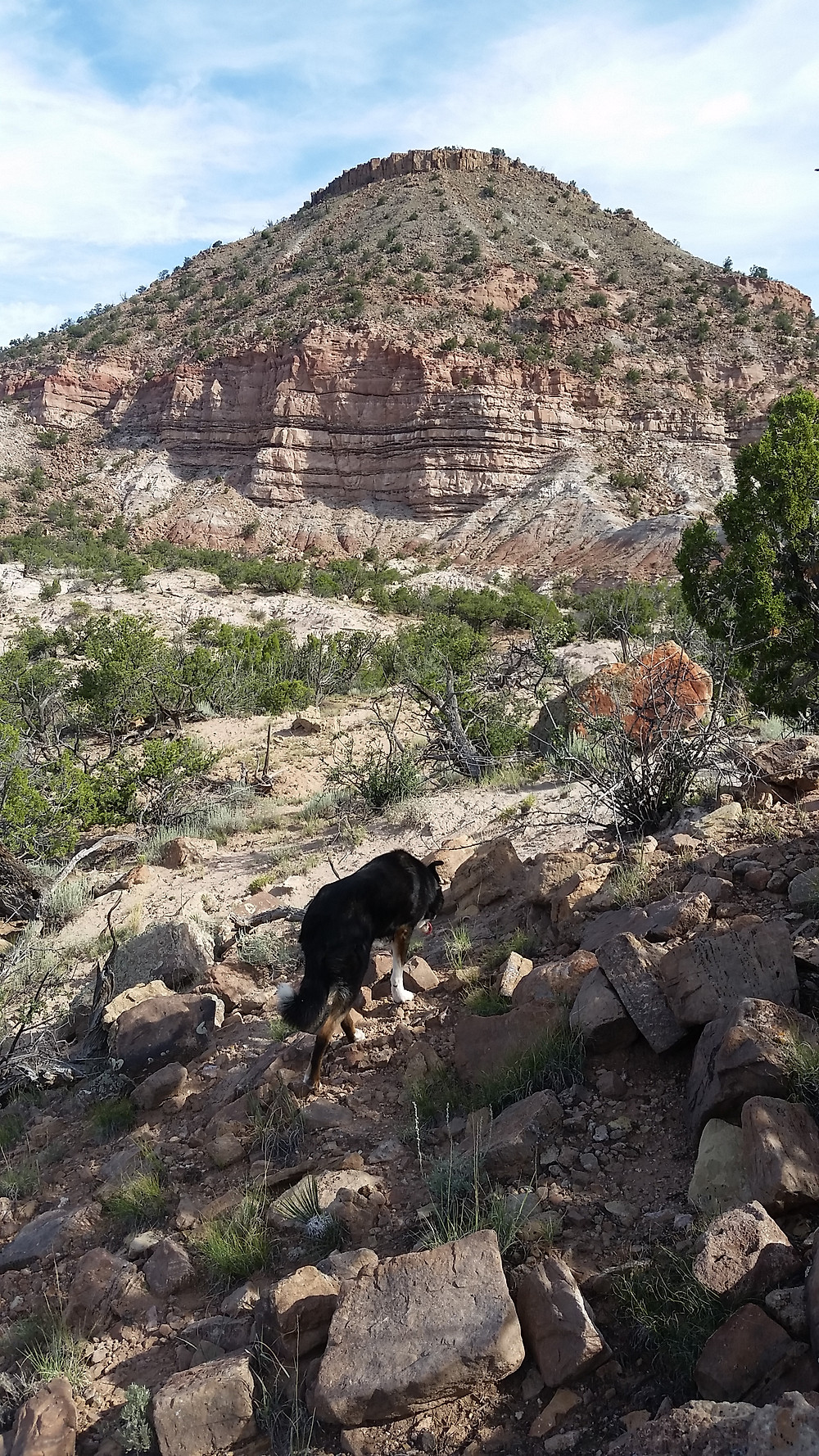 Border Collie from behind, walking toward mesa
