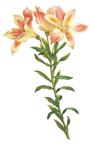 Long Stem Flower Illustration
