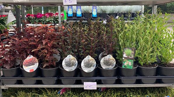 Physocarpus (various)