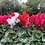 Thumbnail: 4 x Cyclamen large(mixed colours)