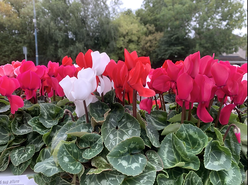 4 x Cyclamen large(mixed colours)