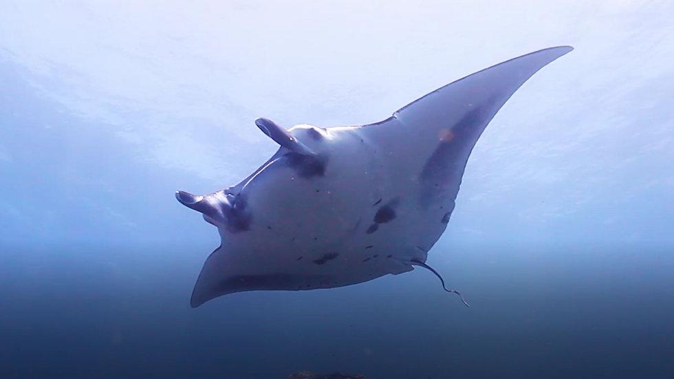 Costa Rica MANTAS & SHARKS