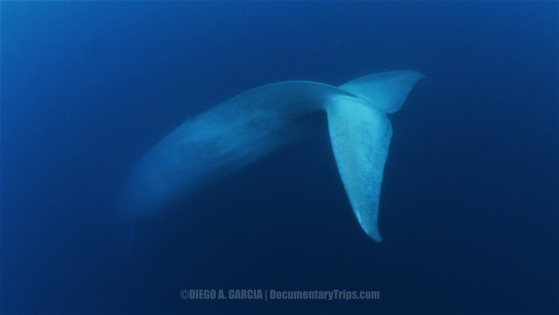 BlueWhaleTail3-wm.png