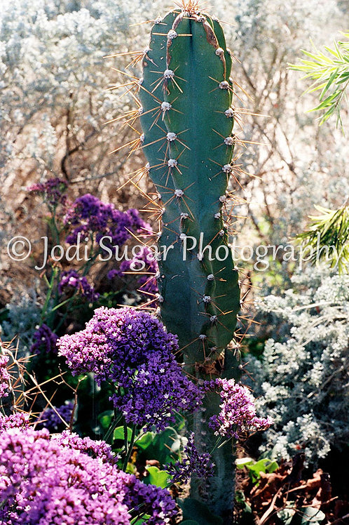 Sabra Cactus