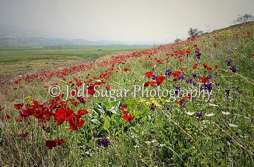 Poppies in Beit Shean Valley