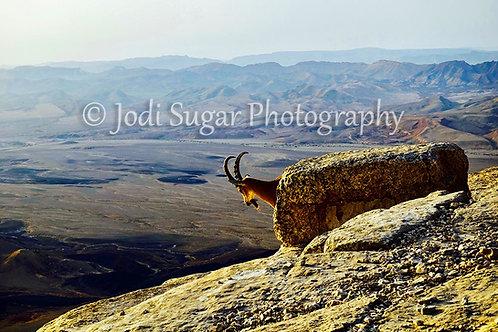 Ibex in Mitzpe Rimon