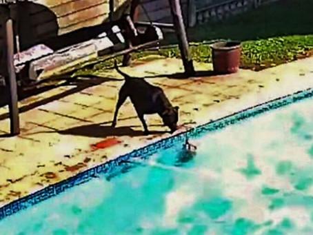 Perrita salva a su amigo de morir ahogado en una alberca; así fue su hazaña (VIDEO)