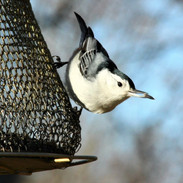 Nuthatch at the mesh feeder