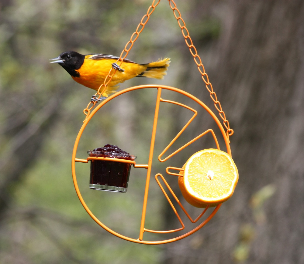 Baltimore Oriole on Jelly Feeder