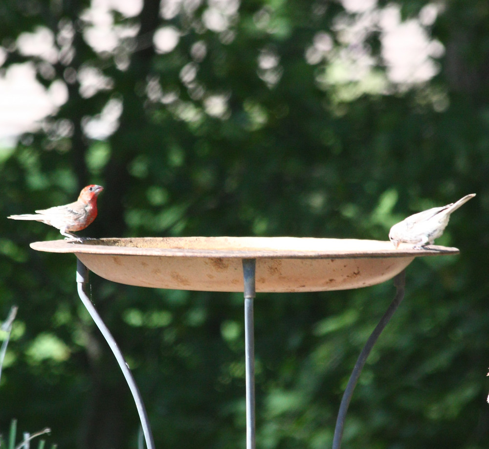Clean water is critical for backyard birds.