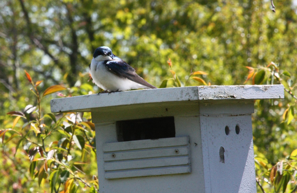Tree Swallow and Nest Box