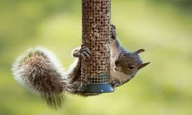 Best strategies for avoiding squirrels at your bird feeder.