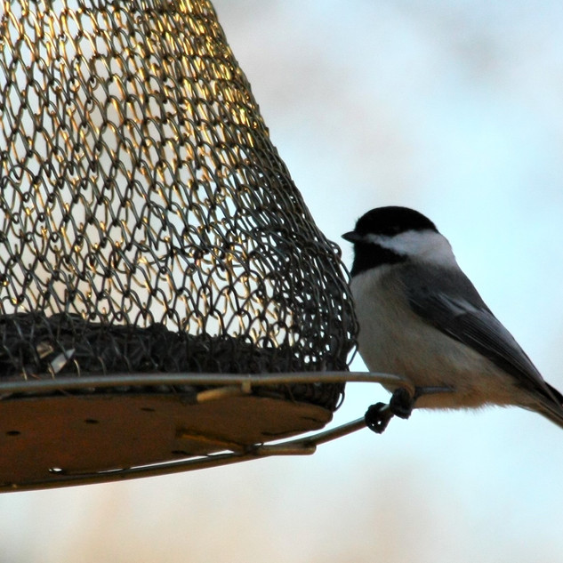 Chickadee at the mesh feeder