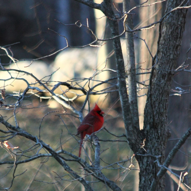 Northern Cardinal waiting his turn