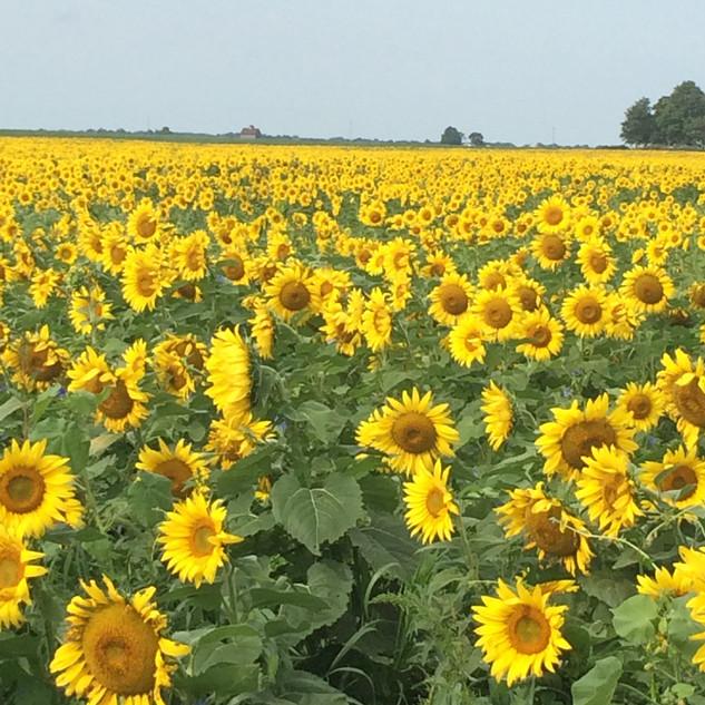 Prairie Melody sunflower in the field.