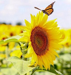 Sunflower Monarch_edited.jpg