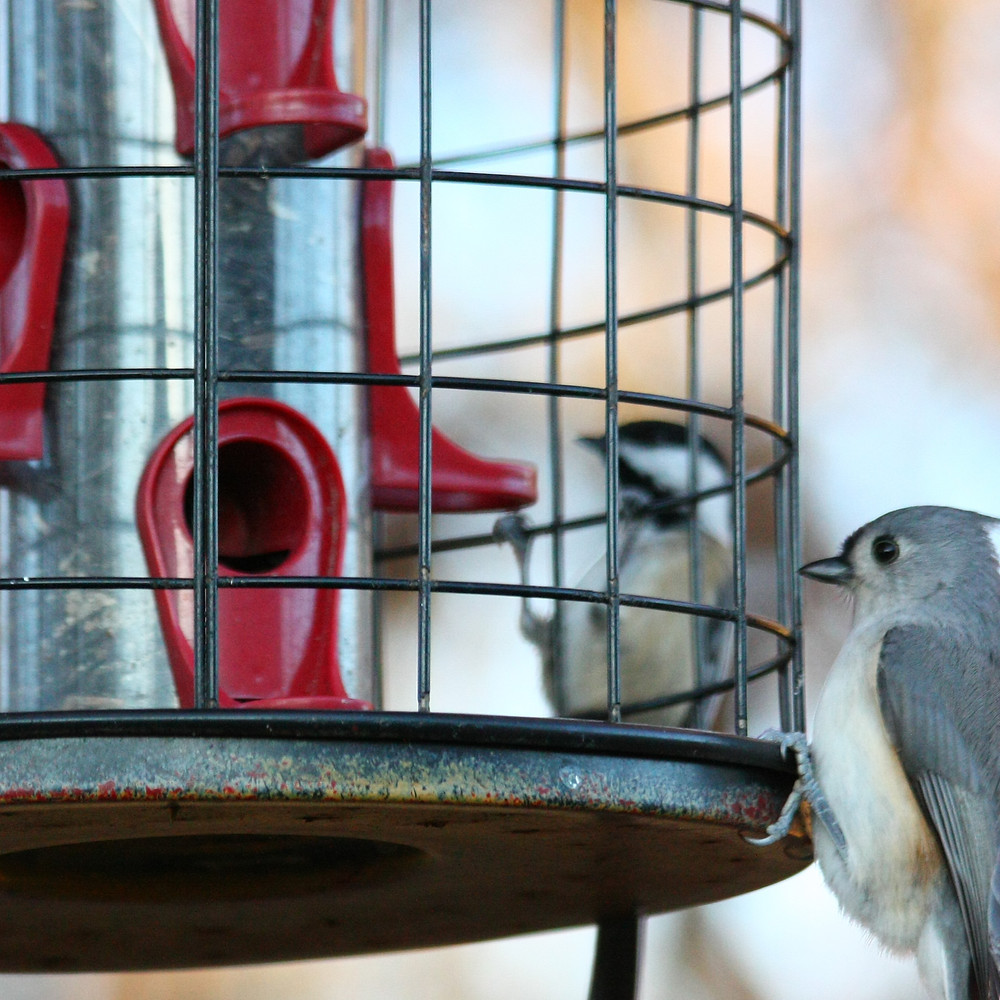 Titmouse and chickadee at tube feeder.