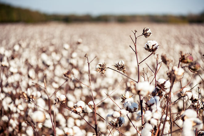 Ready_For_Harvest_Cotton-10.21.15-001.jp