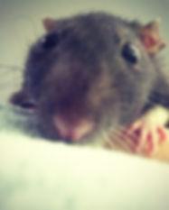 rat closeup.jpg