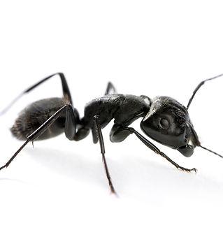 Carpenter Ants Large.jpg