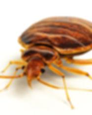 Bed Bug Large.jpg