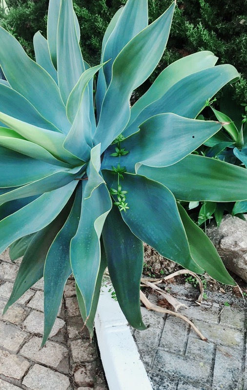 Stor aloeveraplanta