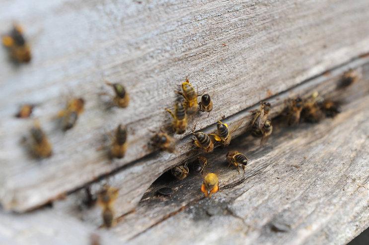 Les 3 qualités de l'abeille noire d'Ouessant