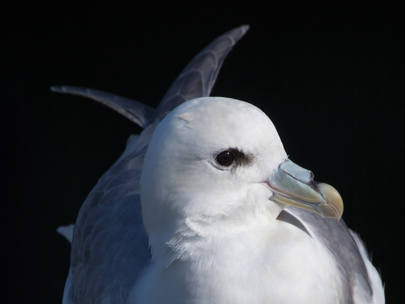Fulmar Detail Hoxa Head