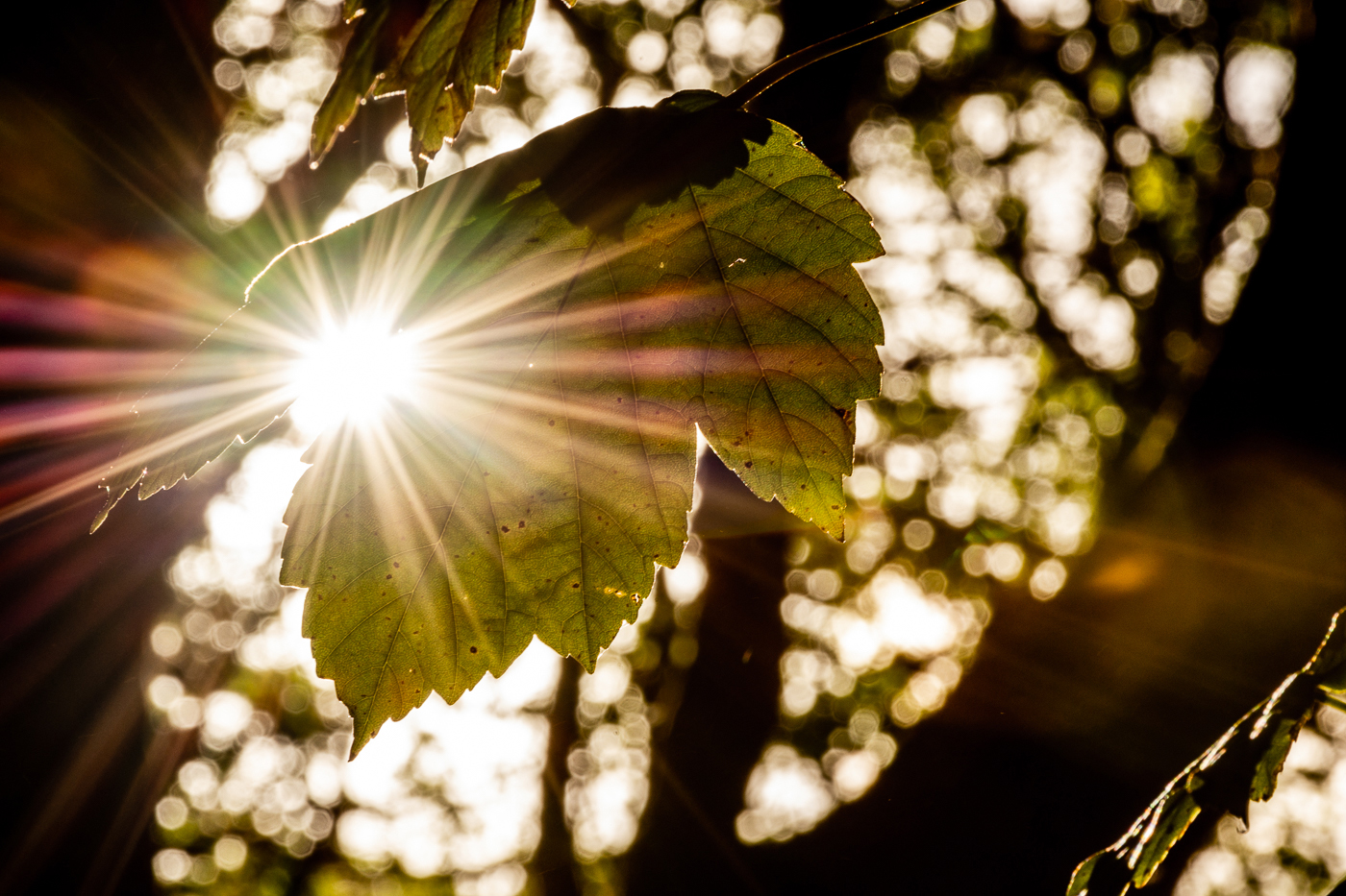 Sun burst through Leaf