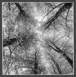 Lime Tree Canopy