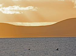 Risso's Dolphins in the Flow a