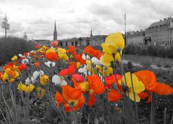 IMG_0401orange poppies yellow wide angle