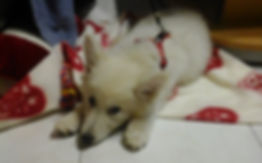 Chiot Berger Blanc Suisse