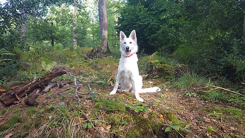 Berger Blanc Suisse Chiot Elevage A vendre