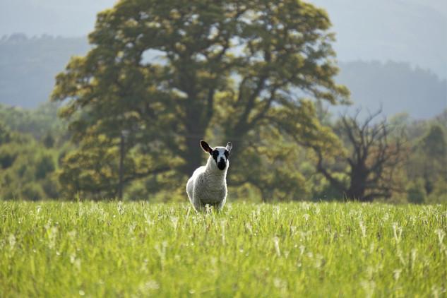 Lamb frolicking