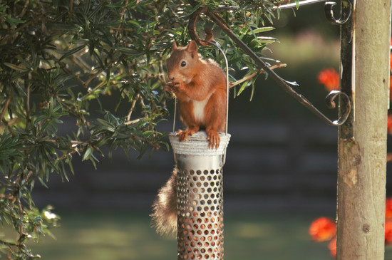 Red Squirrel sitting on top of Feeder