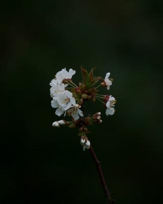 Prunus Pensylvanica